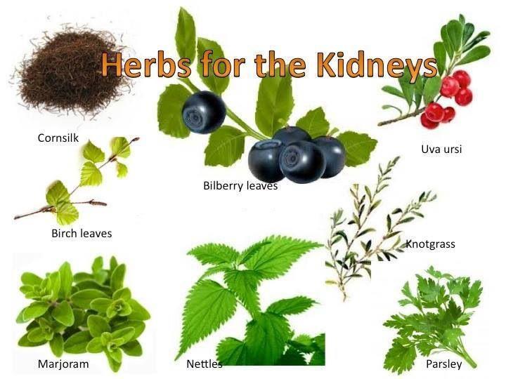 herbs for kidneyis
